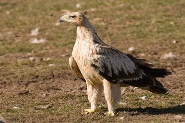 Juvenile Spanish Imperial Eagle Aquila adalberti in the Pyrenees.