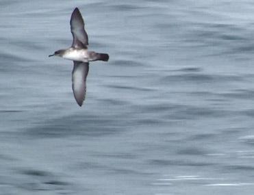 Balearic Shearwater, Puffinus mauretanicus