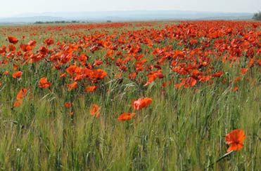 Poppies and birding in Spain.