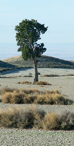 A Spanish Juniper in the Monegros