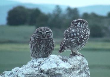Little Owls, Athene noctua.