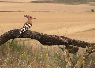 Hoopoe, Upupa epops, from the Montagu's Harrier hide.