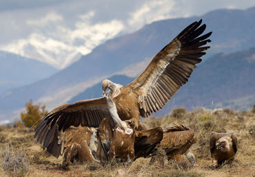 Griffon Vultures - Gyps fulvus in the Pyrenees
