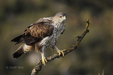 Bonelli's Eagle photography