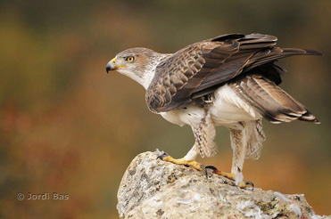 Bonelli's Eagle photography