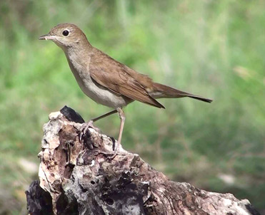 Nightingale, Luscinia megarhynchos