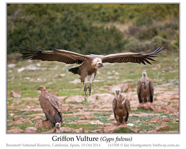 Griffon Vulture, Gyps fulvus.