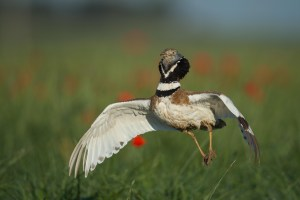 Little Bustard jumping