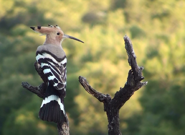 Hoopoe on branch