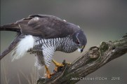 One of Jean-Christian Pioch's photos from the Goshawk hide