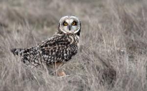 Short-eared_owl_blog