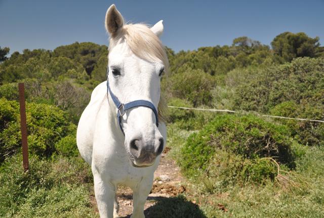 cheval-camarguais (2)