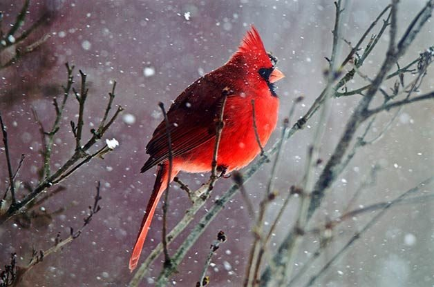 6 Ways to Attract More Cardinals   Birds and Blooms For a backyard full of cardinals and their mates  grow plants they love to  eat and shrubs to shelter their families