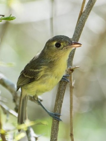 The Cuban Vireo. (Photo by David Southall)