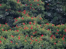 Scarlet Ibis settle on top of the mangroves at their Caroni Swamp roosting site. (Photo by Jessica Rozek)