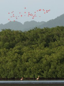 Scarlet Ibis fly above a pair of American Flamingos. (Photo by Jessica Rozek)