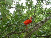 A Scarlet Ibis in Caroni Swamp, Trinidad. (Photo by Lisa Sorenson)