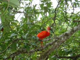 A Scarlet Ibis in Caroni Swamp, Trinidad. (Photo by Lisa Sorenson)