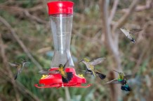 Hummingbirds flock to a feeder in Grand Case, St. Martin. (Photo by Mark Yokoyama)