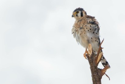"""A """"Killy Killy"""" (American Kestrel) has a great view and easy hunting in St. Martin with all the leaves off the trees. (Photo by Mark Yokoyama)"""