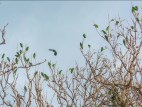Parrots on denuded vegetation in Puerto Rico.