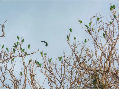 Parrots on denuded vegetation in Puerto Rico.