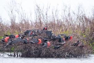 Frigatebird Colony in Codrington Lagoon (Photo by Frantz Delcroix)