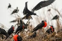 Landing Magnificent Frigatebird over Colony (Photo by Frantz Delcroix)