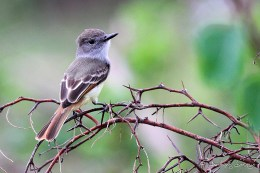 Lesser Antillean Flycatcher (Photo by Anthony Levesque)