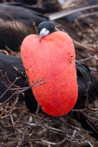 Male Magnificent Frigatebird with Inflated gular pouch (Photo by Frantz Delcroix)