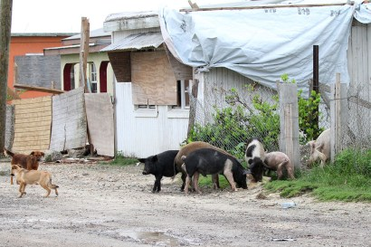 Pigs and dogs scrounging for food in Barbuda (Photo by Anthony Levesque)