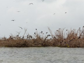 A view of part of the Magnificent Frigatebird colony from a distance. (Photo by Eric Delxcroix)