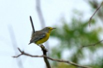 Shows unique Barbuda Warbler habit of cocking up their tail, more like a wren than a warbler (Photo by Jeff Gerbracht)