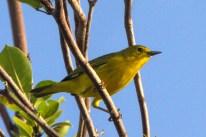 Yellow Warbler (Photo by Jeff Gerbracht)