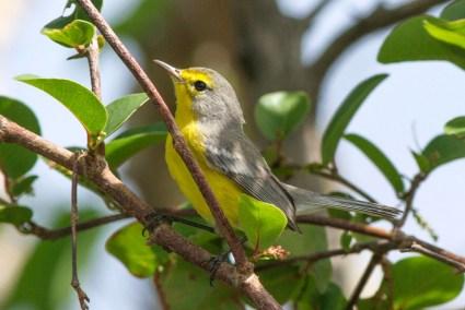 Barbuda Warbler (Photo by Jeff Gerbracht)