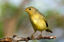 Female/Immature Yellow Warbler (Photo by Jeff Gerbracht)