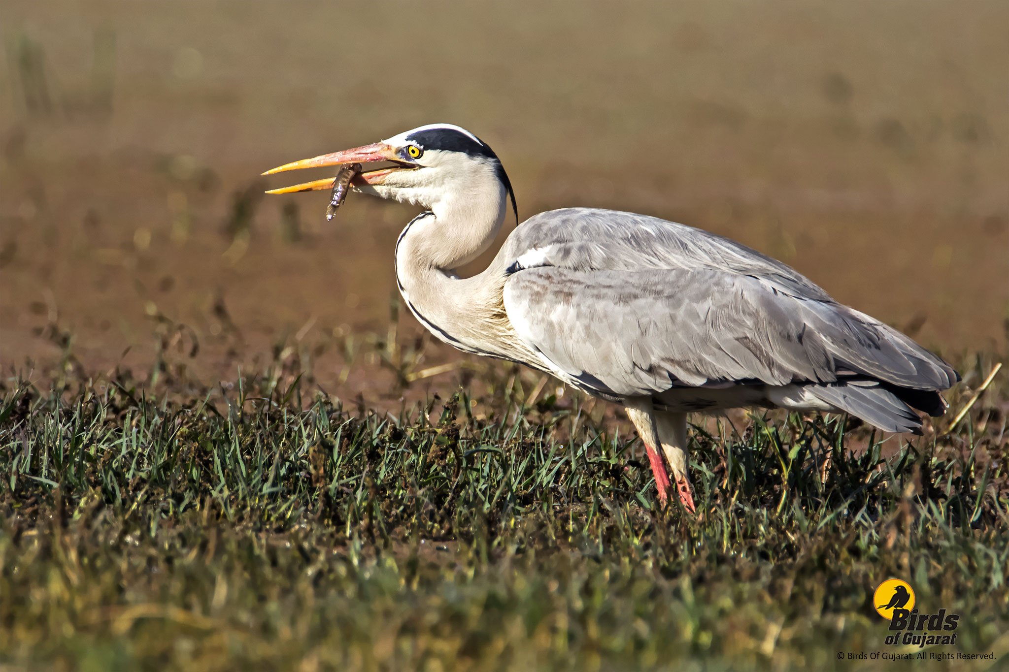 Grey Heron  Ardea cinerea    Birds of Gujarat Grey Heron