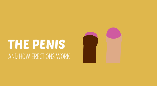 BISH THE PENIS AND HOW ERECTIONS WORK  header