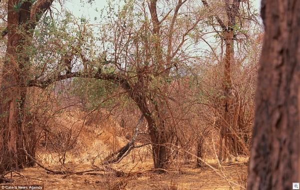 Camo giraffe