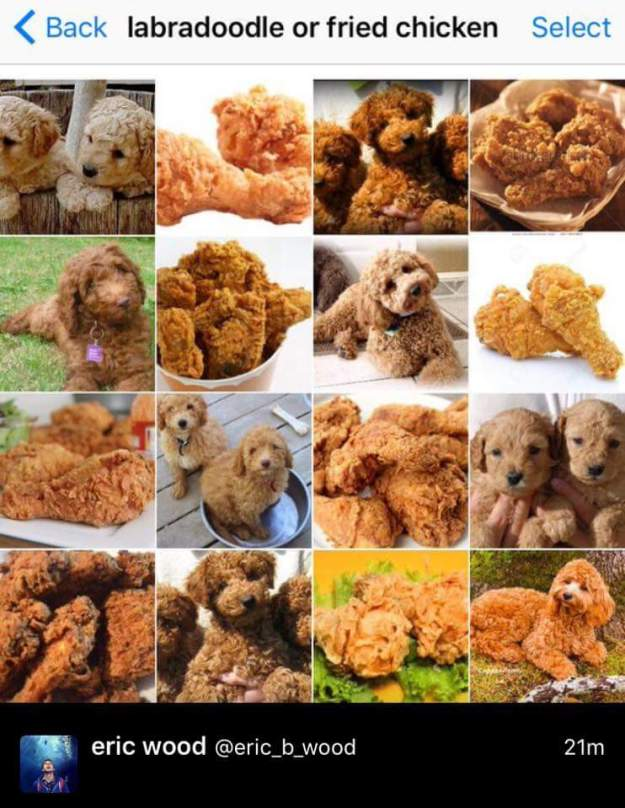 labradoodle-or-fried-chicken