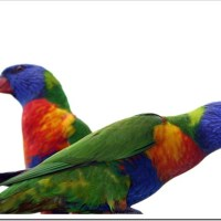 Friday Photo 36: Rainbow Lorikeets in Australia