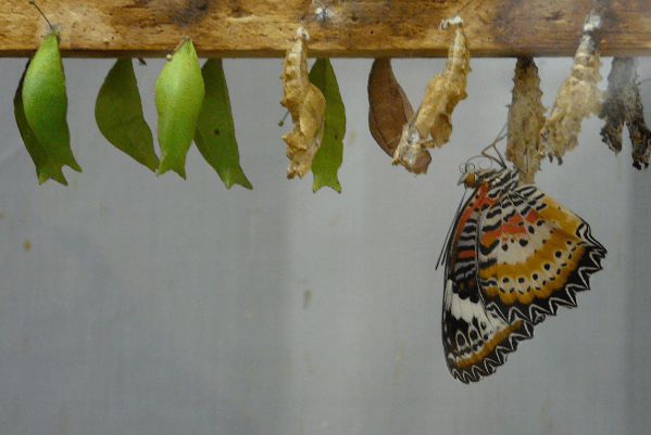 A series of butterfly cocoons. Some are still closed, a few are open. A butterfly has just emerged from one of them.