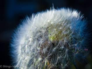 flower dadelion たんぽぽ