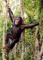 Scimpanzé (credit: Anne Fischer)
