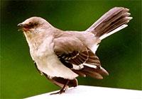 Tordo (credit: birdwatchersdigest.com)