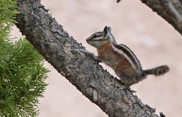 Bryce Canyon chipmunk