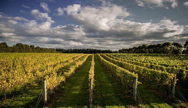 Martinborough vines