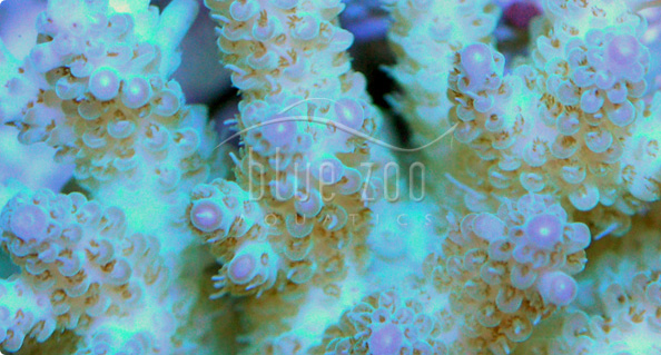 Saltwater fish blue zoo saltwater fish for sale for Live saltwater fish for sale