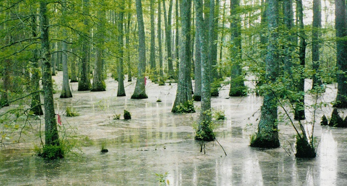 wolf-river-swamp