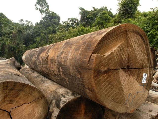 Kenyir Logs 2.JPG